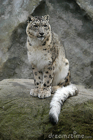 Free Snow Leopard Stock Photos - 382023
