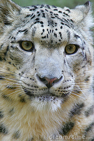 Free Snow Leopard Royalty Free Stock Photos - 7322128
