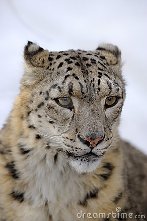 Free Snow Leopard Royalty Free Stock Photos - 8474368