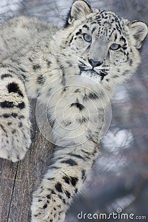 Free Snow Leopard Cub Stock Image - 612721
