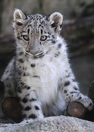 Free Snow Leopard Cub Portrait Stock Photos - 33779063