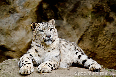 Snow Leopard Irbis (Panthera uncia) looking ahead