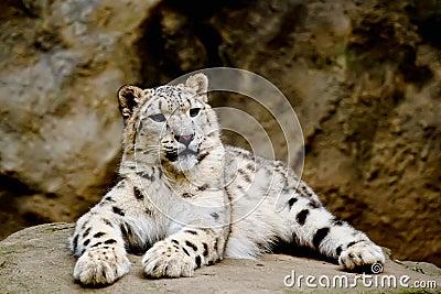 Snow Leopard Irbis (Panthera uncia) looking ahead