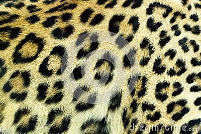 Snow Leopard Irbis skin texture