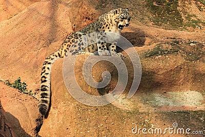 Snow leopard juvenile