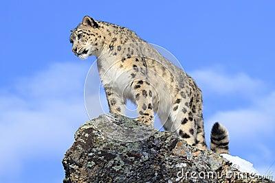 Snow Leopard on Mountain Ridge