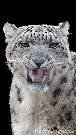 Free Snow Leopard Portrait With A Black Background Stock Photography - 104810662