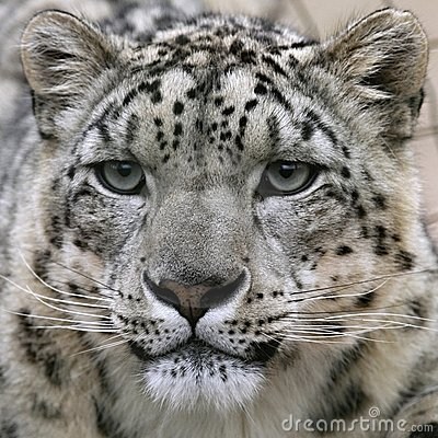 Free Snow Leopard S Portrait Royalty Free Stock Images - 16429249