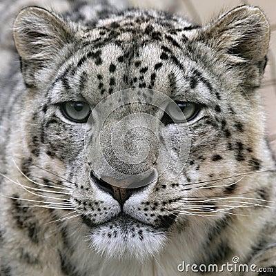Snow leopard s portrait