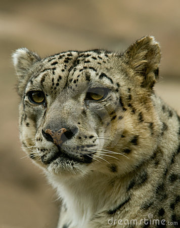 Snow Leopard Staring Intently