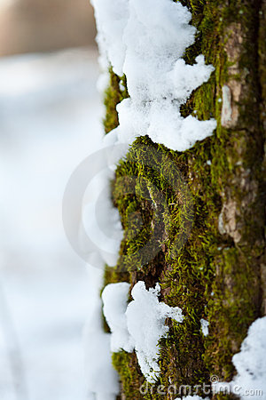 Snow melting on tree bark and moss