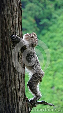 Free Snow Monkey Climbing Up A Tree In Jigokudani, Japan Stock Photo - 132632580