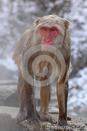 Free Snow Monkey In Onsen Royalty Free Stock Image - 39146786