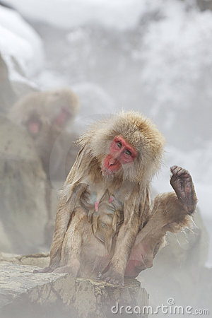 Snow Monkeys In Hot Spring