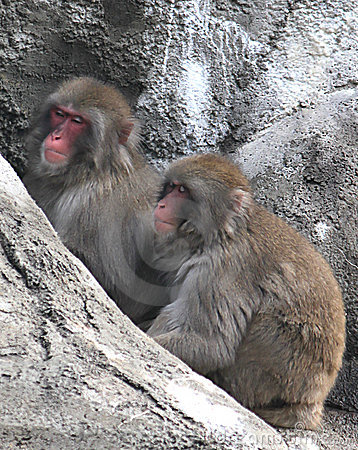 Snow Monkeys (Japanese Macaque)