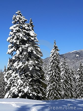 Free Snow On Firs Stock Photo - 1525410