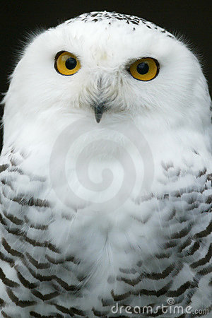 Free Snow Owl Stock Photography - 6852272