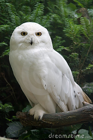 Free Snow Owl Stock Photography - 837112