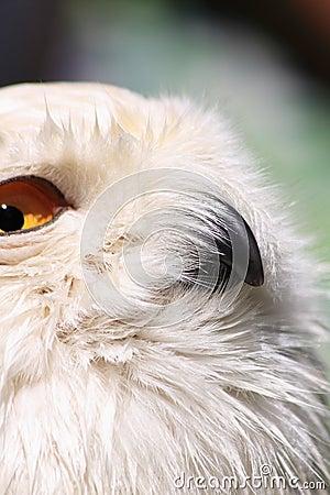 Snow owl close-up
