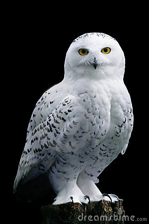 Free Snow Owl On Black Background Stock Images - 4389174