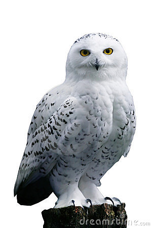 Free Snow Owl On White Background Stock Photos - 4389173