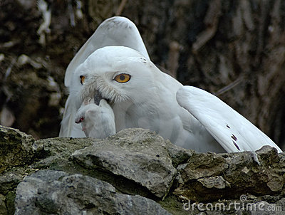 Snow owl with prey