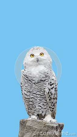 Free Snow Owl Stand On Rock Stock Photos - 104705973