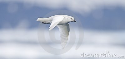 Snow Petrel in Flight