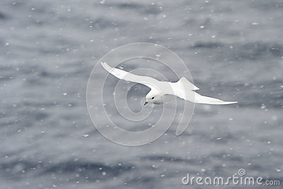 Snow Petrel in a Snow blizzard