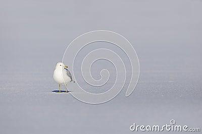 Snow seagull