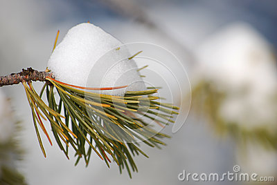 Snow on a small green branch in snowy mountains