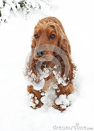 Snow spaniel