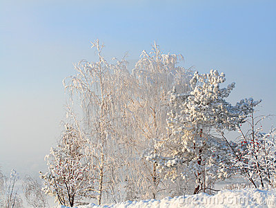 Snow trees in frosty day