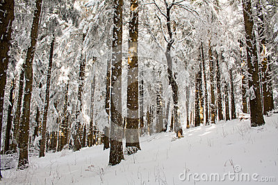 Snow wood