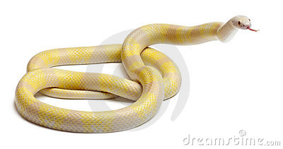 Snow yellow contrast Honduran milk snake