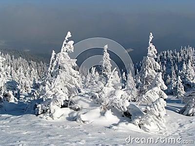 Snowbound firs.