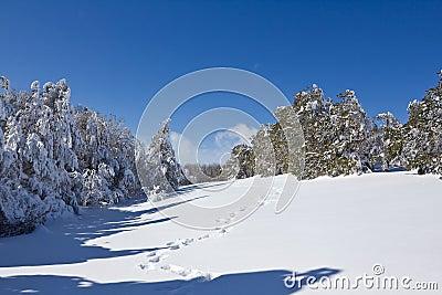 Snowbound forest