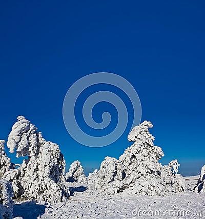 Snowbound pine forest