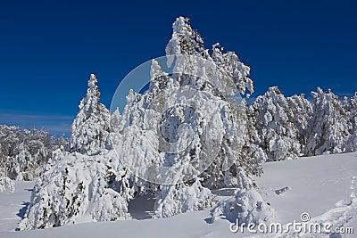 Snowbound pine tree forest