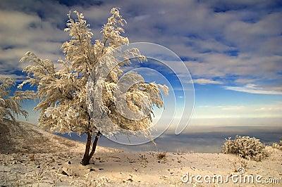 Snowbound tree