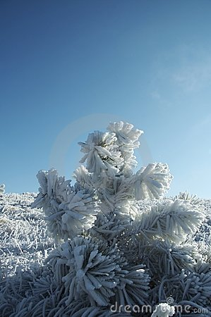 Free Snowcovered Pine Royalty Free Stock Image - 1705006