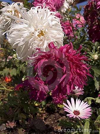 Snowdrift Chrysanthemums