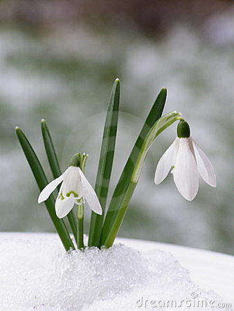 Free Snowdrop Royalty Free Stock Image - 3409676
