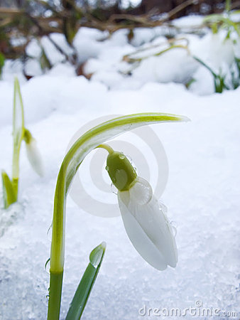 Free Snowdrop Royalty Free Stock Photography - 8227707