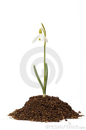 Snowdrop first messenger of spring in the soil
