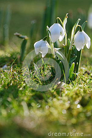 Free Snowdrop Flower In Nature With Dew Drops Stock Photos - 28104773