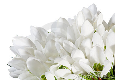 Snowdrop flowers nosegay isolated on white