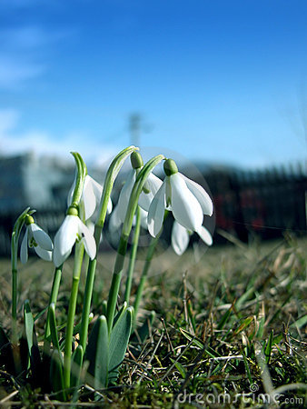 Free Snowdrops Stock Images - 106644