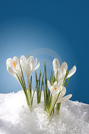 Free Snowdrops Royalty Free Stock Images - 12625939