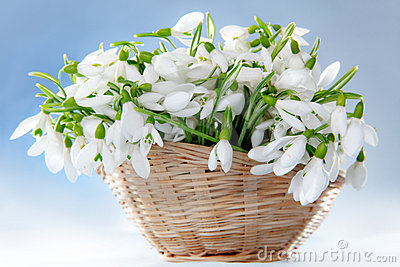 Snowdrops in basket